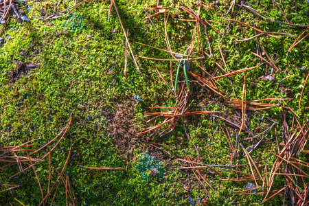 Fluffy soft green moss in the forest. Sofackground image.