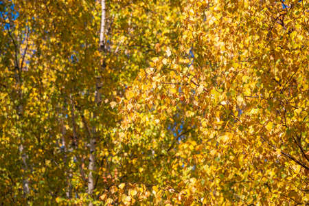 Birch branches with yellow leaves in autumn, in the light of sunset. Dry autumnal leaves background, golden birch tree foliage, bright yellow sunshine, autumn park, seasons change, fall nature