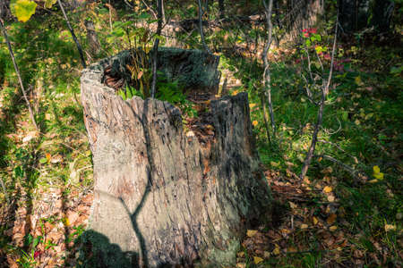 Old tree stump with moss and fern in the autumn forest. Brown texture of the old tree.