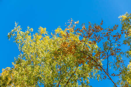 Birch branches with yellow leaves in autumn, in the light of sunset. Blue sky background. Dry autumnal leaves background, golden birch tree foliage, autumn park, seasons change, fall nature