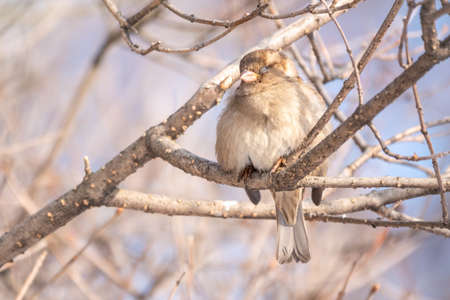 Sparrow sits on a branch without leaves with snow. Sparrow on a branch in the winter. A sparrow sits on a branch with closed eyes.