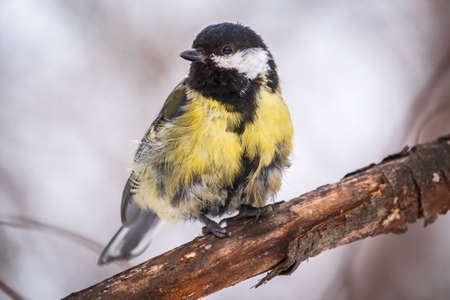 Tit with a damaged paw. Cute bird Great tit, songbird sitting on a branch without leaves in the autumn or winter. Parus major