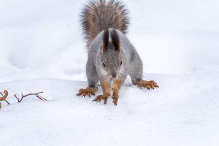 Squirrel hides nuts in the white snow. Eurasian red squirrel, Sciurus vulgaris Banco de Imagens