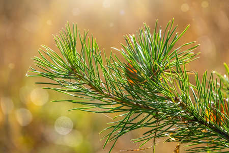 Green spruce branches on yellow leaves background in the autumn forestAutumn background.