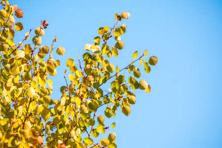 Birch branches with yellow leaves in autumn on blue sky background. Dry autumnal leaves background, golden birch tree foliage, autumn park, seasons change, fall nature Banco de Imagens
