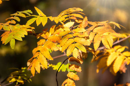 Autumn yellow rosehip leaves, orange and yellow leaves of bush. Beautiful autumn multicolored still life, dry autumnal leaves background, golden birch tree foliage, autumn park, seasons change.