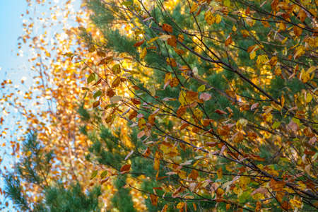 Branches with orange, green and yellow leaves in the autumn park. Dry autumnal leaves background, golden birch tree foliage, autumn park, seasons change, fall nature