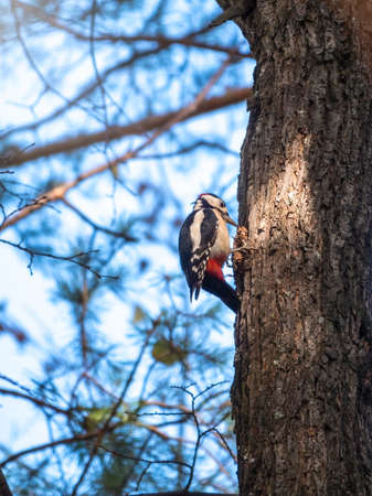 Little woodpecker sits on a tree trunk. A woodpecker obtains food on a large tree without leaves in winter. Survival of birds in the winter or autumn. The great spotted woodpecker, Dendrocopos major Banco de Imagens