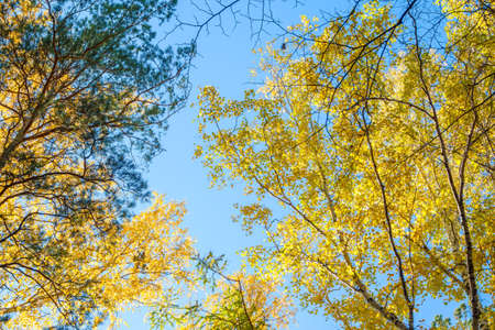 Tree tops in the autumn forest, a view from the bottom upward on blue sky background. Dry autumnal leaves background, golden birch tree foliage, autumn park, seasons change, fall nature Banco de Imagens