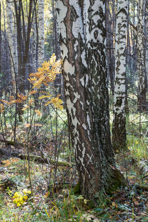 Birch trees in autumn forest with yellow leaves on the ground. Calm motley background with autumn birches, black and white trunks, yellow foliage, leafy ground Banco de Imagens