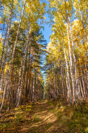 Trail with fallen leaves in an autumn pine forest or park. Forest trail covered with fallen leaves. Autumn background.