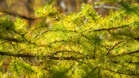 Larch branches in autumn on green and yellow leaves background. Autumn natural background