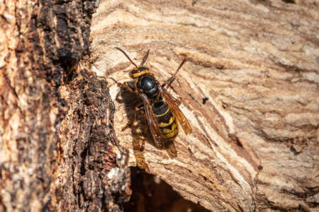 The European hornet, lat. Vespa crabro, is the largest eusocial wasp native to Europe. Entrance to the hornet's nest in the tree hollow. Jack predatory wasps. Banco de Imagens