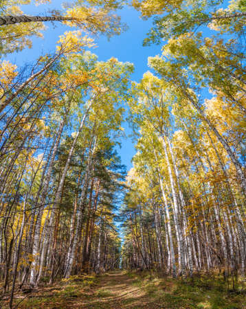 Tree tops in the autumn forest, a view from the bottom upward on blue sky background. DForest trail covered with fallen leaves. Autumn background., Autumn park, seasons change, fall nature