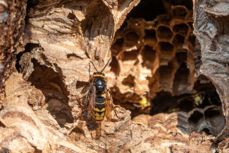 Entrance to the hornet's nest in the tree hollow. Jack predatory wasps. The European hornet, lat. Vespa crabro, is the largest eusocial wasp native to Europe