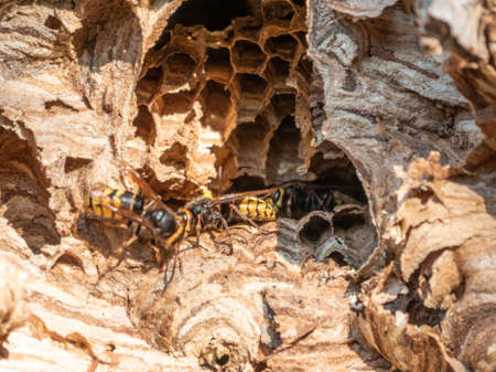 Entrance to the hornet's nest in the tree hollow. Jack predatory wasps. The European hornet, lat. crabro, is the largest eusocial wasp native to Europe
