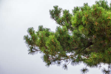 Green pine branches with needles and fresh cones against a cloudy sky. Many cones on pine. Background image with copy space.