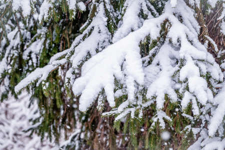 Snow covered green spruce branches in winter. Green branches of a Christmas tree covered with white snow in the sunlight. Natural winter background