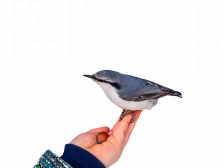 The Eurasian nuthatch sits on boy's hand isolated on white background. Hungry wood nuthatch eating nuts from a hand during autumn or winter.