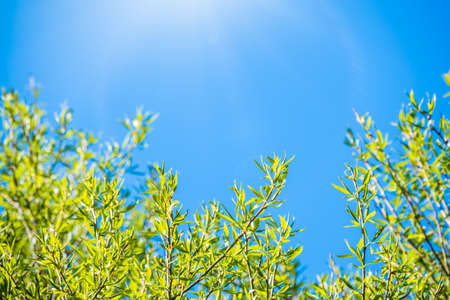 Spring branches with fresh green leaves on a background of blue sky. Spring leaves and blue sky as background. Spring background with copy space