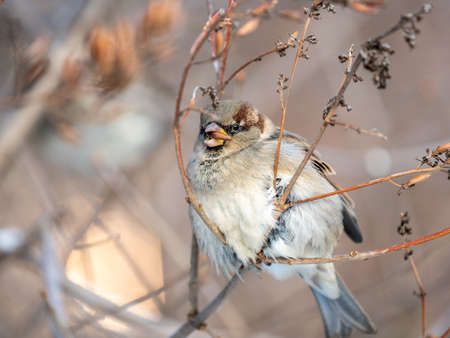 Sparrow sits on a bush branch and eating its seeds in winter park or forest