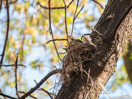 Five Chicks of Thrush fieldfare, Turdus pilaris, in a nest. The Fieldfare chicks in the wild nature.