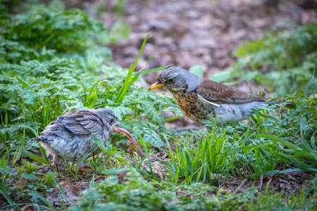 Thrush fieldfare, Turdus pylaris, feeds the chick with earthworms on the ground. An adult chick left the nest but his parents continue to take care of him. Wildlife scene from spring forest.