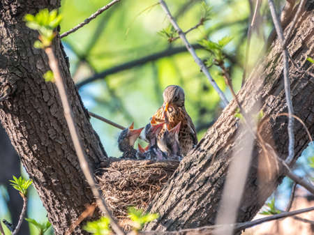 Thrush fieldfare feeding chicks with earthworms. Thrush, Turdus pilaris, with new born babies in the nest. Wildlife scene from spring forest.