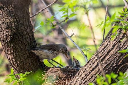 Thrush fieldfare, Turdus pilaris, in a nest with chicks. The Fieldfare with chicks in the wild nature.