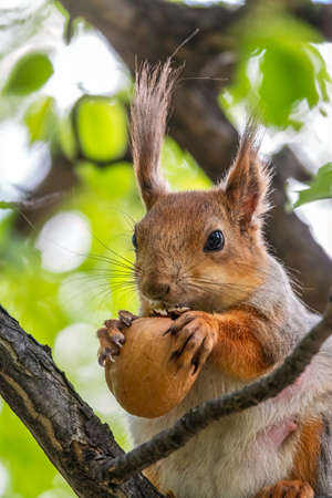 The squirrel with nut sits on a branches in the spring or summer. Portrait of the squirrel close-up. Eurasian red squirrel, Sciurus vulgaris