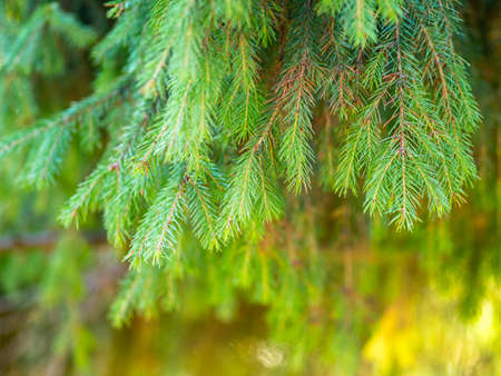 Background of green spruce branches in sunset light. Fresh fir branch Standard-Bild