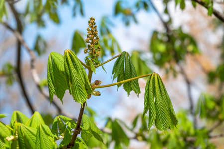 Green Chestnut Leaves in beautiful light. Spring season, spring colors. Aesculus hippocastanum, the horse chestnut
