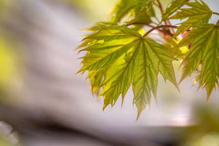 Blooming Norway Maple, platanoides, in beautiful light. Spring season background, spring colors Banco de Imagens
