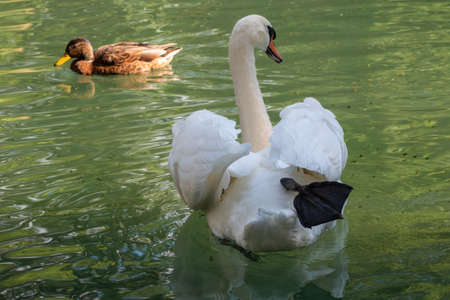 A graceful white swan swimming on a lake with dark green water. The white swan is reflected in the water. The mute swan, Cygnus olor