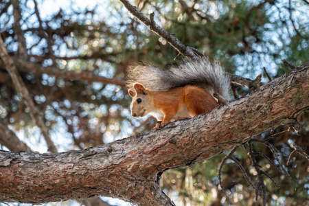 The squirrel sits on a pine branches in the summer or autumn. Eurasian red squirrel, Sciurus vulgaris. Banco de Imagens