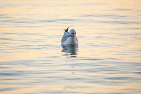 Seagull swims in the sea. The European herring gull, Larus argentatus