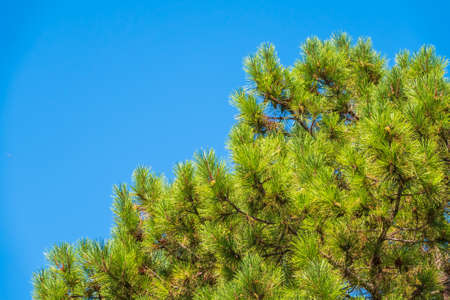 Green pine tree with long needles on a background of blue sky. Crown of lush green pine tree with long needles. Freshness, nature, concept. Latin: Pinus brutia