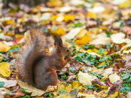 Squirrel with nut in autumn on green grass with fallen yellow leaves Banco de Imagens