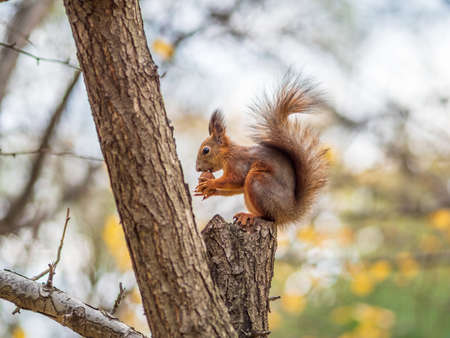 Autumn squirrel with nut sits on a branch. Wild animal. Autumn forest. Banco de Imagens