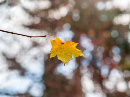 Maple branches with yellow leaves in autumn, in the light of sunset. Dry autumnal leaves background, golden maple tree foliage, bright yellow sun shine, autumn park, seasons change, fall nature Banco de Imagens