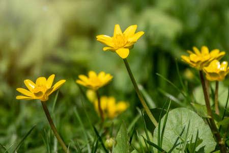 Lesser celandine, Ranunculus Ficaria, one of the first spring wildflower. Hello spring Banco de Imagens