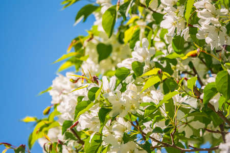Apple tree branches with white flowers on a background of blue clear sky. A fluffy branches of blooming apple tree on a sunny spring day on blue sky background, Spring background with copy space
