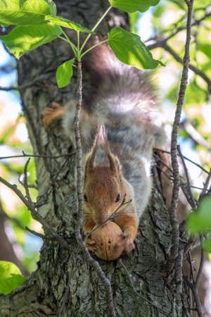 The squirrel with nut sits on a branches in the spring or summer. Eurasian red squirrel, Sciurus vulgaris