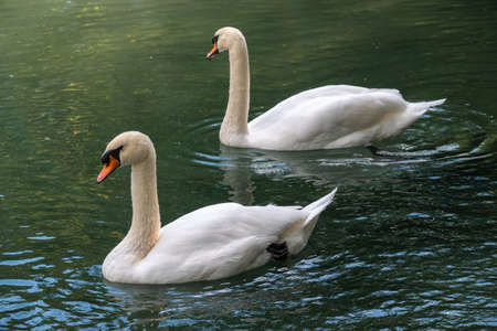 Two graceful white swans swim in the dark water. The mute swan, Cygnus olor Banco de Imagens