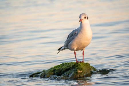 Seagull sits on stone cliff at the sea shore. The European herring gull, Larus argentatus Banco de Imagens