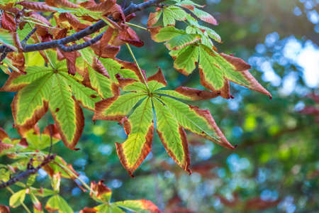 Horse chestnut leaves begin to dry and curl at edges due to heat and drought. The color of leaf changes smoothly from green to yellow and then to brown. Early autumn.
