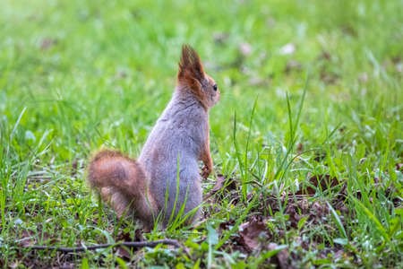 Squirrel sitting in green grass. Eurasian Red squirrel, Sciurus vulgaris, sitting in grass against bright green background Banco de Imagens
