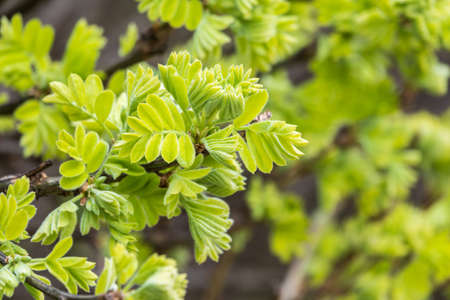 Green bushes with young leaves in the sunset. Background springtime image. Caragana arborescens, the Siberian peashrub, Siberian pea-tree, or caragana. Banco de Imagens