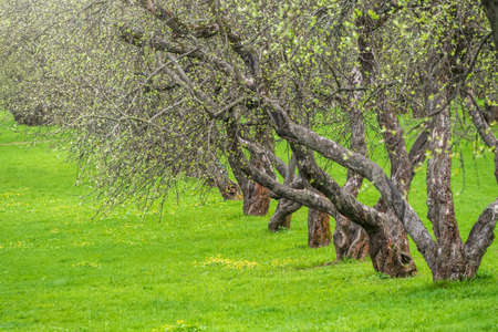 Early spring in a garden with rows of apple trees. Row of apple trees with green grass. Spring natural background
