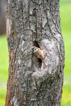 Sparrow sits on a tree trunk near the hollow and is wary of the situation.